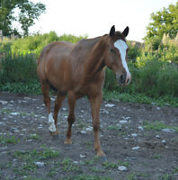 5 yr old Solid Paint Gelding