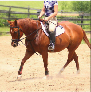 14.1 hh Quarter horse mare for sale