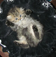 Persan Chinchilla Golden Shaded Chaton chat  Tabby Siver