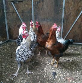 Cockerels