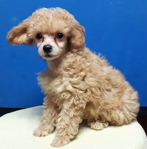 Apricot & Cream Toy Poodle, plush n cuddly