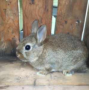 Pedigreed chestnut Netherland dwarf bunny rabbit