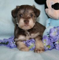SCHNAUZER / CHIOT MINIATURE, TOY ET TINY TOY PUR RACE