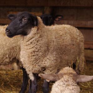 2 purebred suffolk lambs
