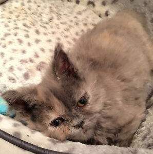 2 months purebred grey Persian girl