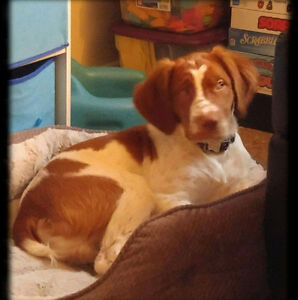 Baby pure amber Brittany spaniel