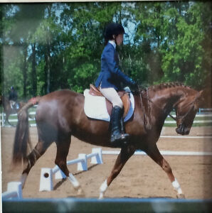 NEW PRICE 14 year old 14.1 liver-chestnut mare