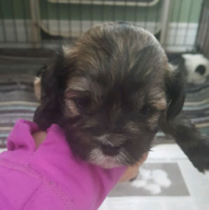 3 Male. Shih Tzu   Puppies.