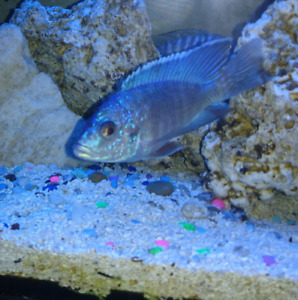 "4.5"" breeder show male turkis..$40"