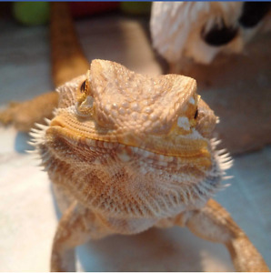 Rehome for Bearded Dragon and Uromastyx. MUST GO TOGETHER