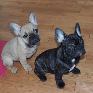 French Bulldog Puppies - Males