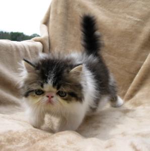 Exotic long hair male kitten