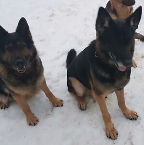 Male and female German Shepherds.  Would like to go together
