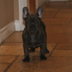 Blue French Bulldog Puppies - Males and Females!!