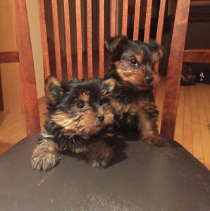 CKC REG'D YORKSHIRE TERRIERS FOR SALE