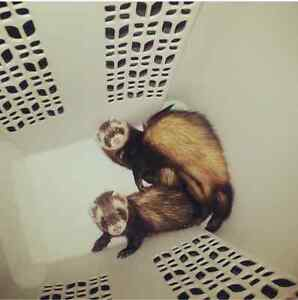 Looking to rehome two ferrets