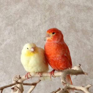 3 canaries and cage for sale