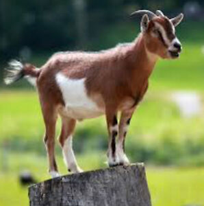 Pygmy goat other small breed goat