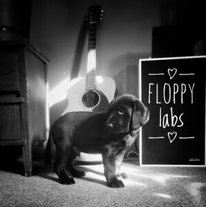 Floppy Labs - Black Lab and 1/4 Black and Tan Coon Hound Puppies