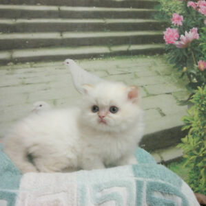 Chatons Ragdoll Baby face ligné Champion