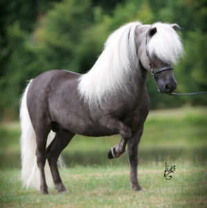Looking For A Miniature Stallion