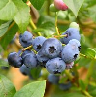 BLUEBERRIES - PICKED DAILY - $10 PER LITRE