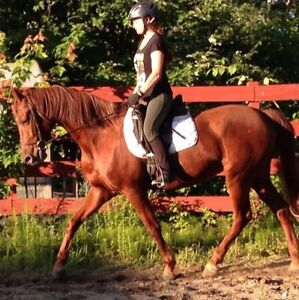 10 year old Lovely American Saddlebred