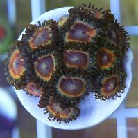 premium zoanthids and palys