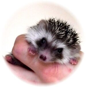 Baby Hedgehogs (from $150.00)