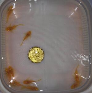 Long Fin Albino Bristlenose Pleco (fry to adult)