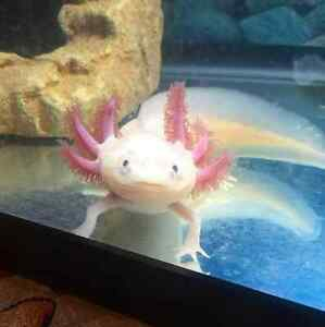 1.5 Year Old Sexed Axolotls for Rehoming with Caring Owner