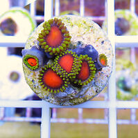 zoas and palys- coral saltwater frags