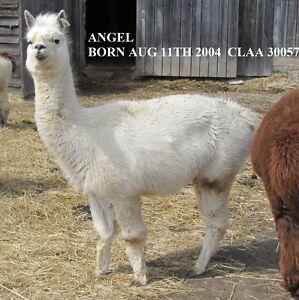 Alpacas for sale Herd liquidation Peterborough Peterborough Area image 1