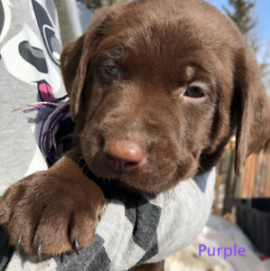 Chocolate and silver lab puppies for sale