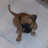 Boxer/old english blulldog pups for sale