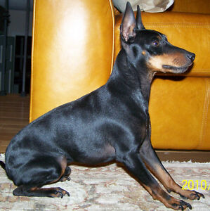 Looking for Manchester terrier (toy) female for breeding