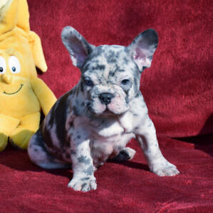 Blue merle and blue french bulldog males