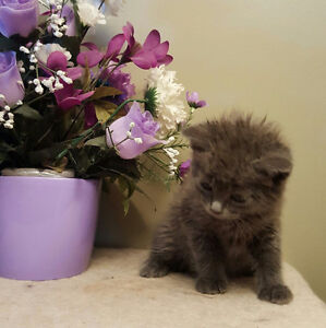 RUSSIAN BLUE  X KITTENS AVAILABLE!-  2 LEFT!