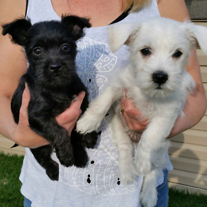 Wauzer Puppies for Sale