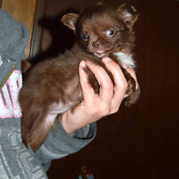 Gorgeous Long Coat Chihuahua Puppies! Ready THIS WKND