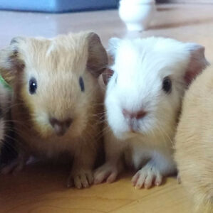 2 Baby Male Guinea Pigs - Free