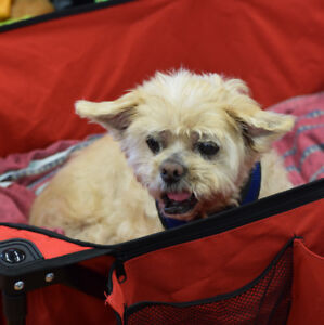 ***Adorable Luke - SHIH TZU cross is available for adoption***