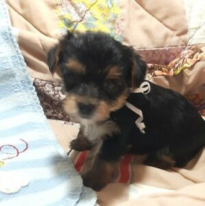 YORKIE FURBABIES! (All puppies now RESERVED!)