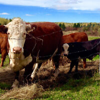 Bred cow with calf for sale