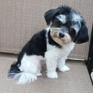 TINY TOY F1 MALTIPOO BOY FROM CHAMPION GRAND FATHER