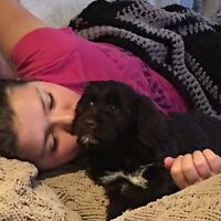 Portuguese Water Dog Puppies CKC registered