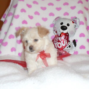 Georgeous Havanese Bichon puppies ready now