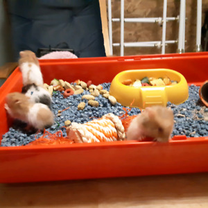 5 week old Syrian Hamsters for sale!
