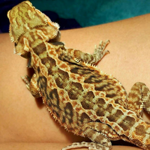 2 Bearded Dragon  and supplies Male & Female Dragon