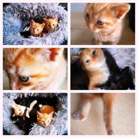 Rare Colour Kittens Ready Now 3 left